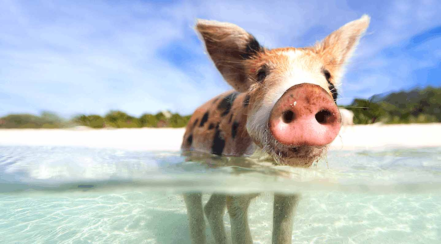SWIM WITH PIGS IN PARADISE